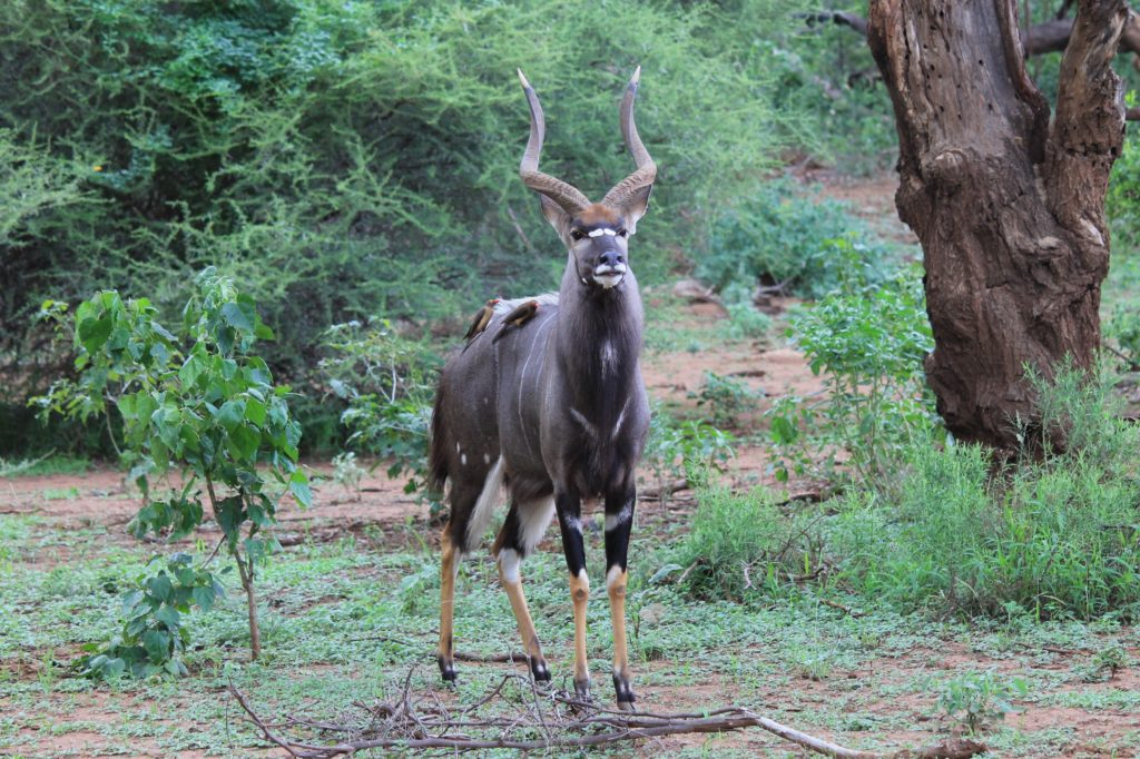 South Africa Hunting Price List nyala