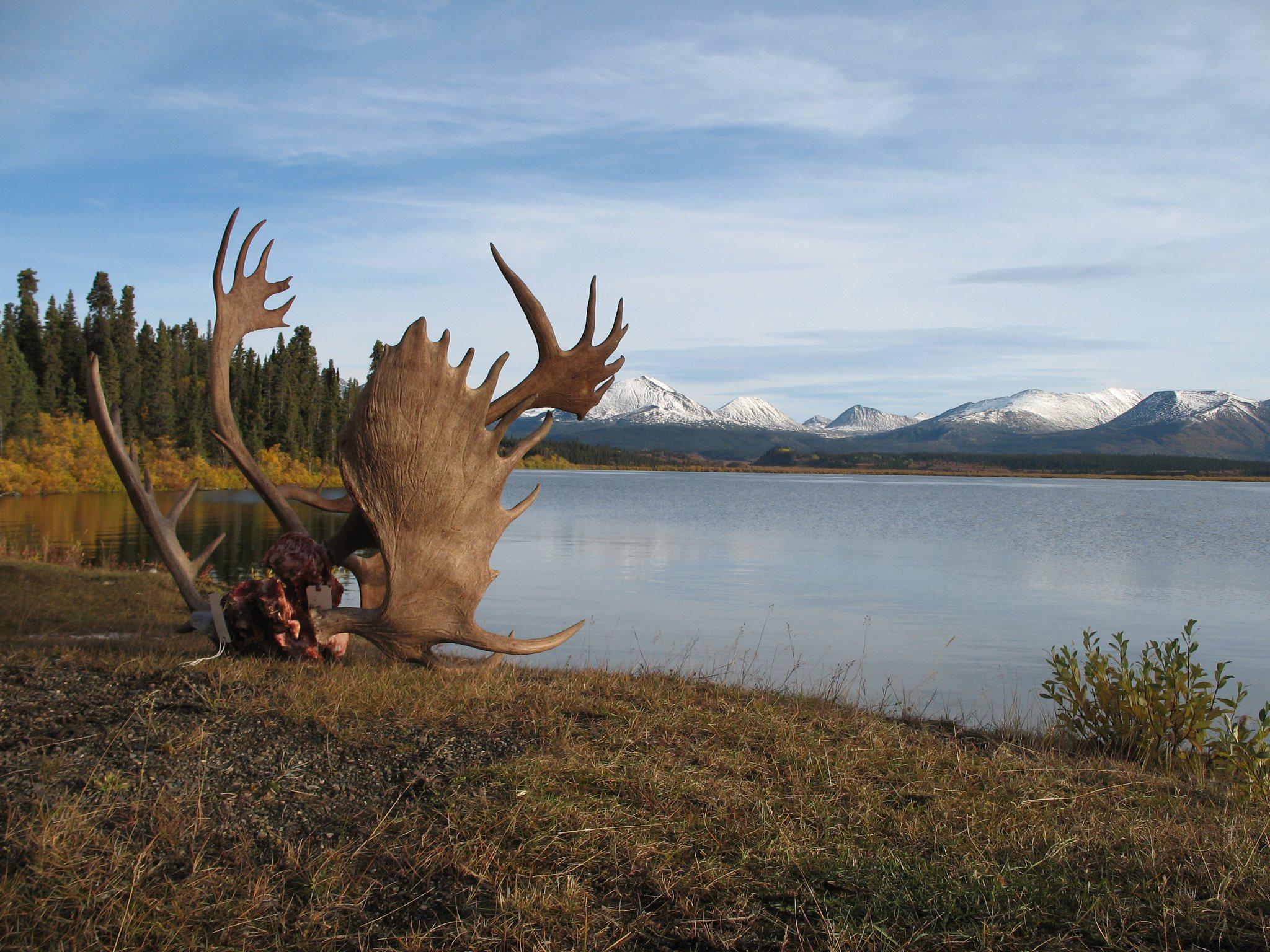hunting bc moose caribou