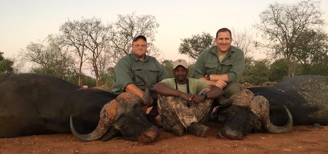 cape buffalo hunting buffalo june 2016