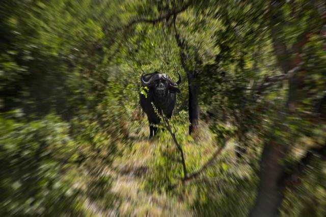 cape buffalo hunting bull