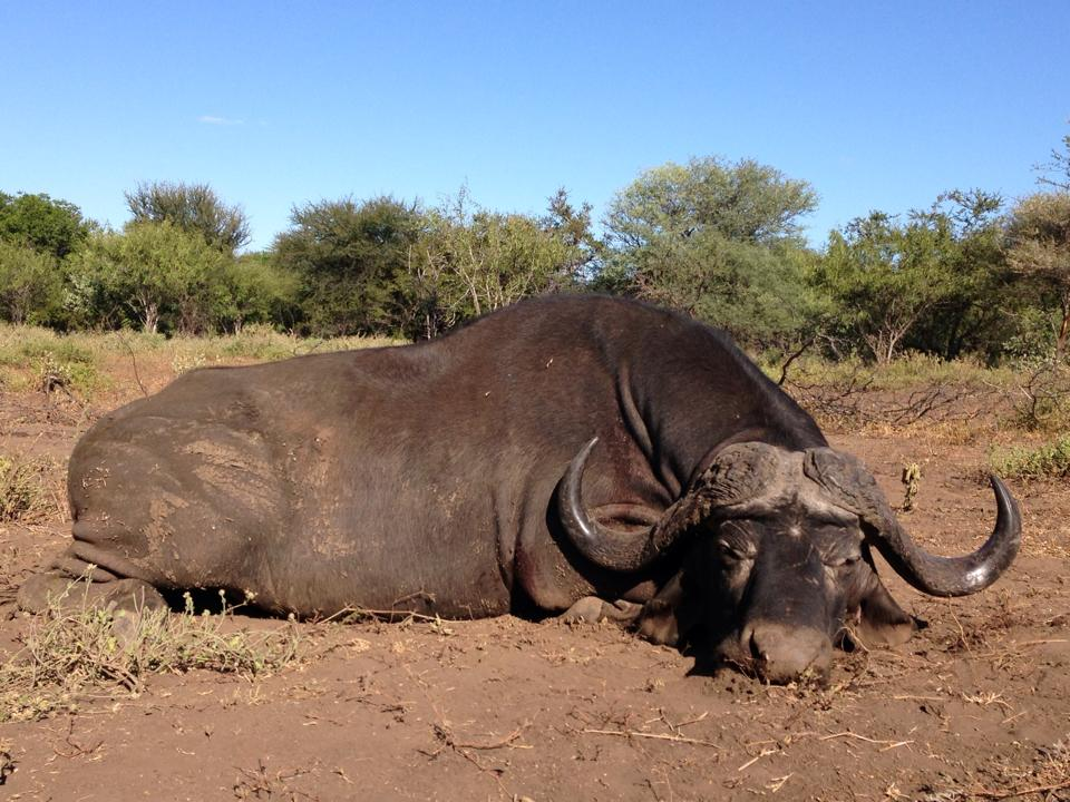 trophy hunting cape buffalo in south africa