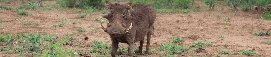 trophy warthog hunting in south africa featured