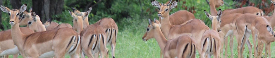 Trophy Impala Hunting In South Africa featured
