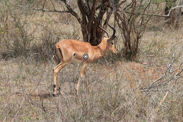 impala shot placement quartering away resized