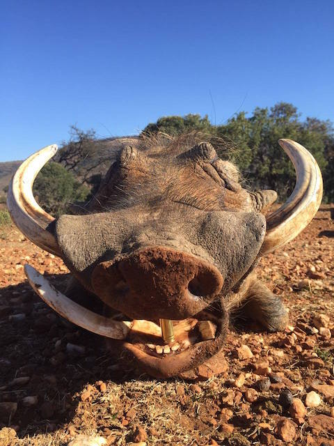 trophy warthog hunting in South Africa august 2016