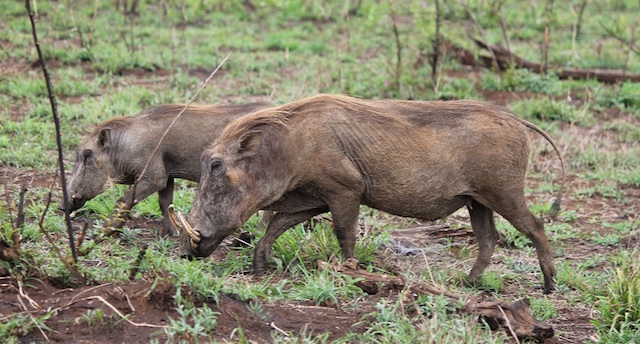 warthog hunting female