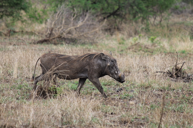 warthog hunting in south africa male