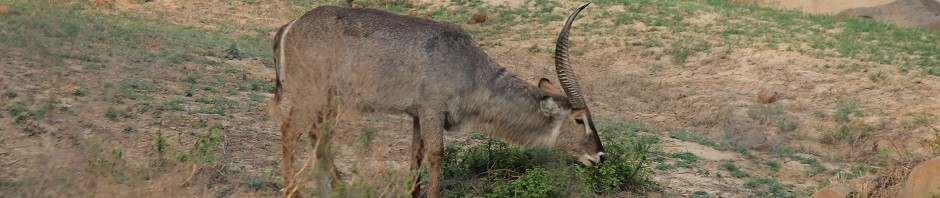 trophy waterbuck hunting in south africa featured