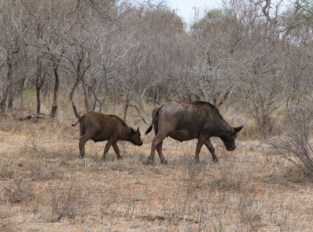 trophy hunting cape buffalo in south africa calf