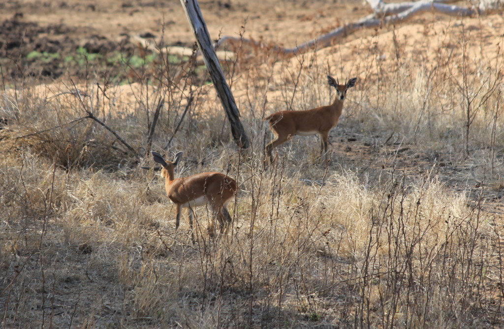 trophy steenbok hunting in south africa male female
