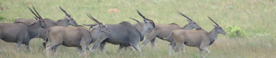 trophy eland hunting in south africa featured