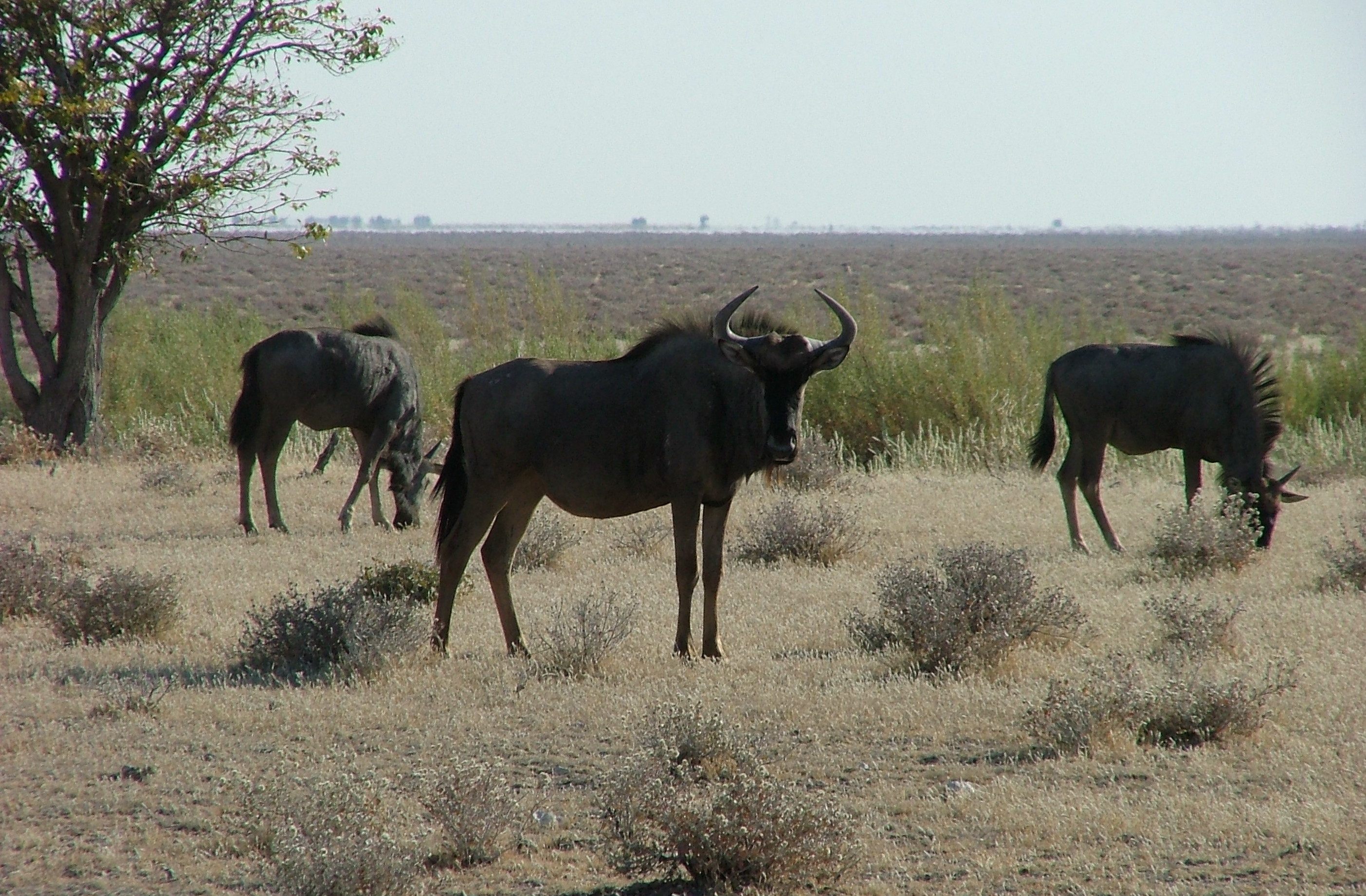 trophy blue wildebeest hunting in south africa female