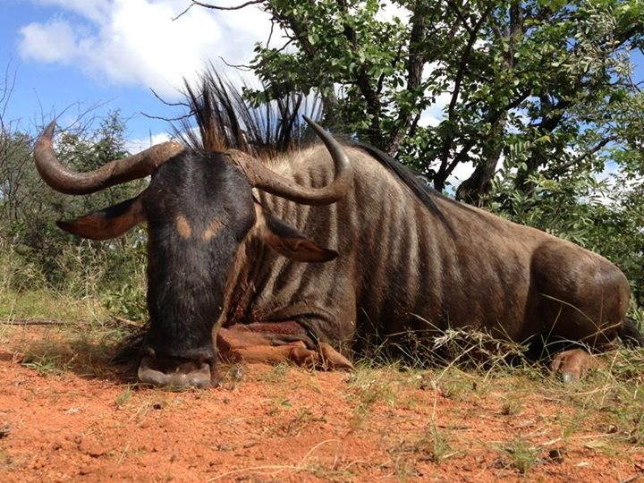 trophy blue wildebeest hunting in south africa 2