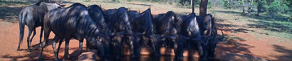 trophy blue wildebeest hunting in south africa featured