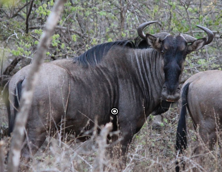 trophy blue wildebeest hunting in south africa shot placement quartering away