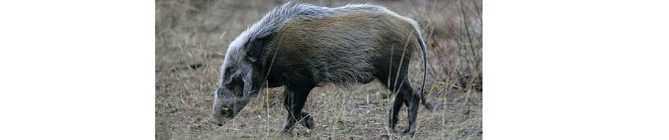 trophy bushpig hunting in south africa featured