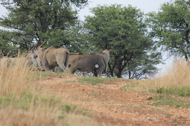 trophy eland shot placement quartering away resized