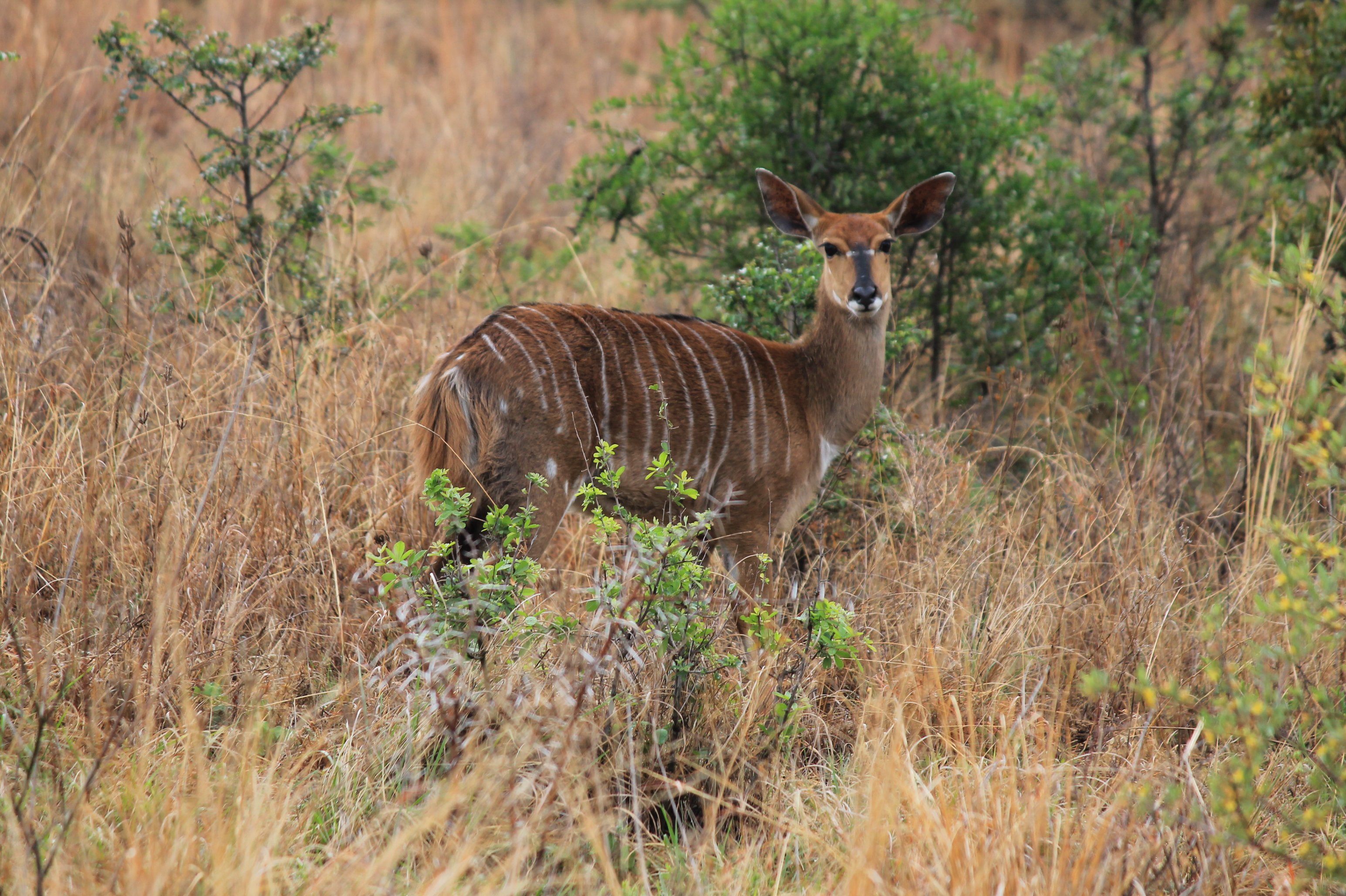 trophy Nyala hunting in south africa female