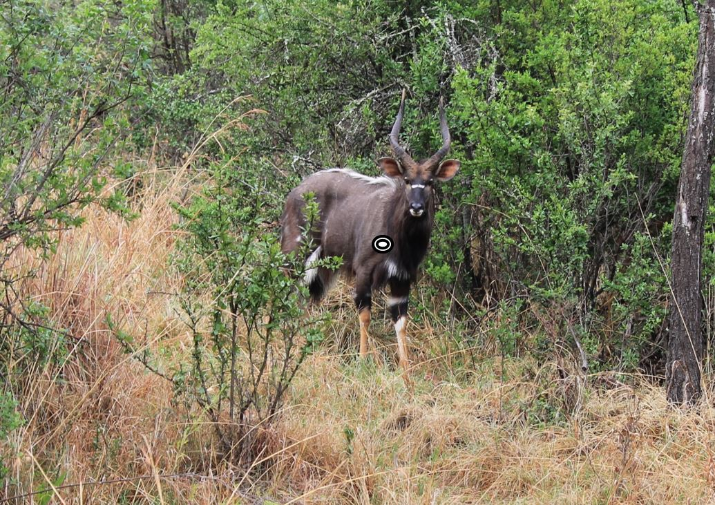 trophy nyala hunting in south africa shot placement quartering towards 2