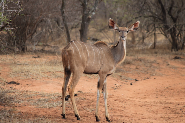 trophy kudu hunting in south africa female small