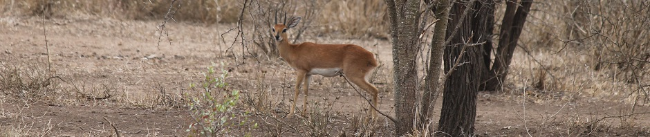 trophy steenbok hunting in south africa featured