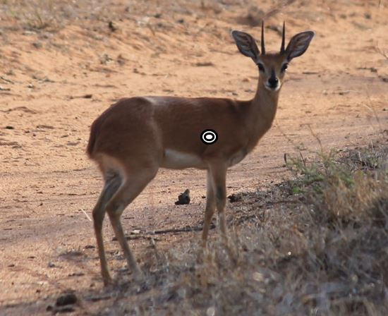 trophy steenbok hunting steenbok shot placement broadside