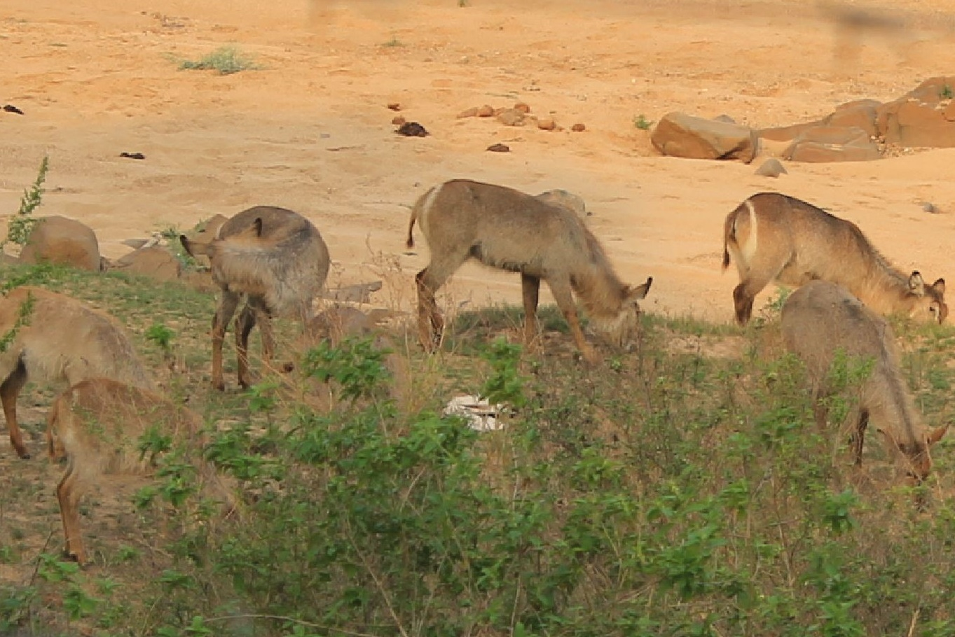 trophy waterbuck hunting in south africa female