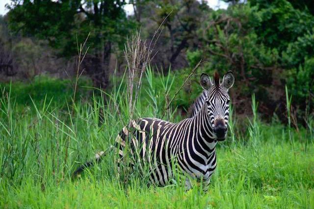 trophy zebra hunting in sough africa 1