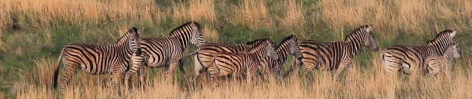 trophy zebra hunting in south africa featured