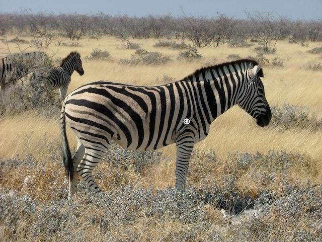 trophy zebra hunting shot placement broadside resize