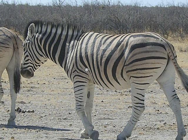trophy zebra hunting shot placement quartering away resize