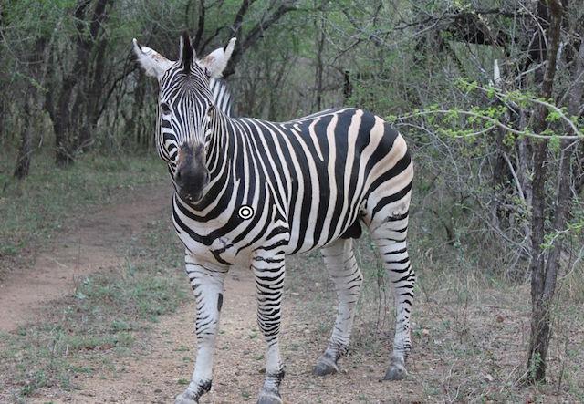 trophy zebra hunting shot placement quartering towards resize