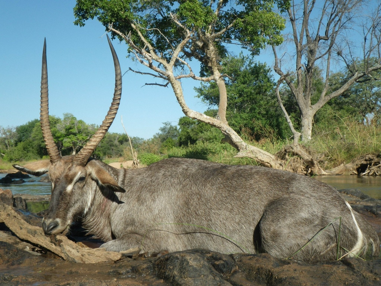 trophy waterbuck hunting in south africa 1