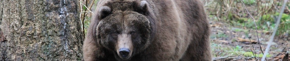 trophy grizzly bear hunting in canada featured