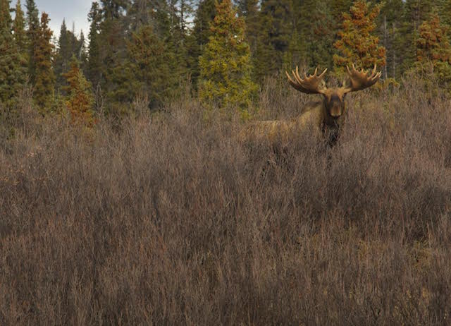 trophy moose hunting in canada male small