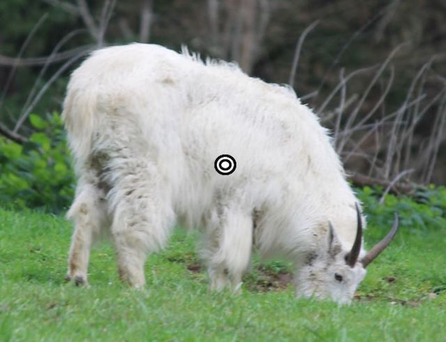 mountain goat hunting mountain goat shot placement