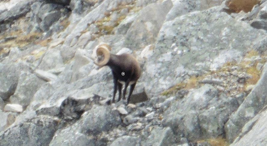stone sheep shot placement quartering towards