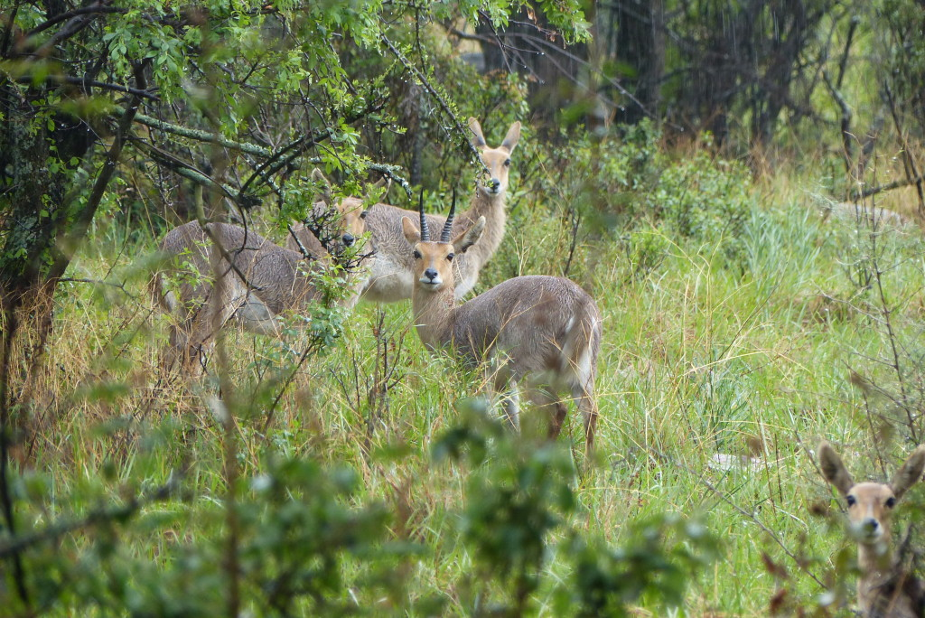 trophy mountain reedbuck hunting in south africa male female