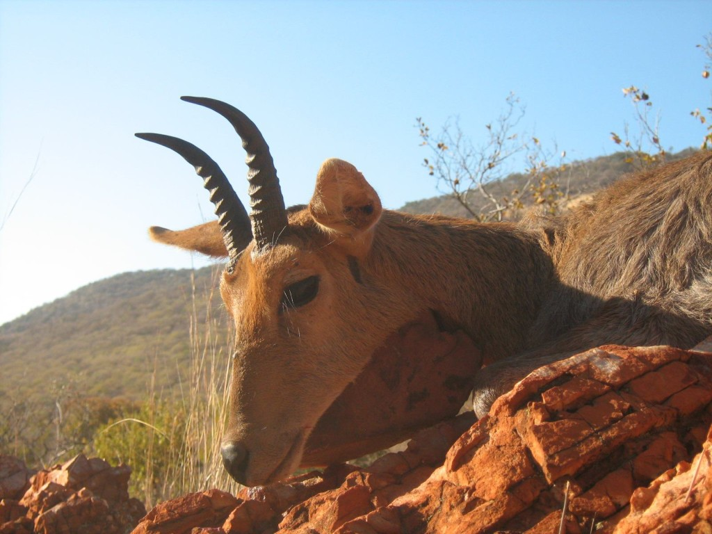 trophy mountain reedbuck hunting in south africa 1