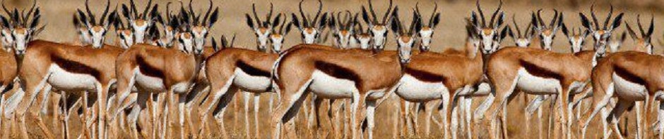 trophy springbok hunting in south africa featured