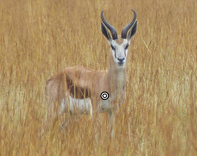 trophy springbok hunting in south africa shot placement quartering towards