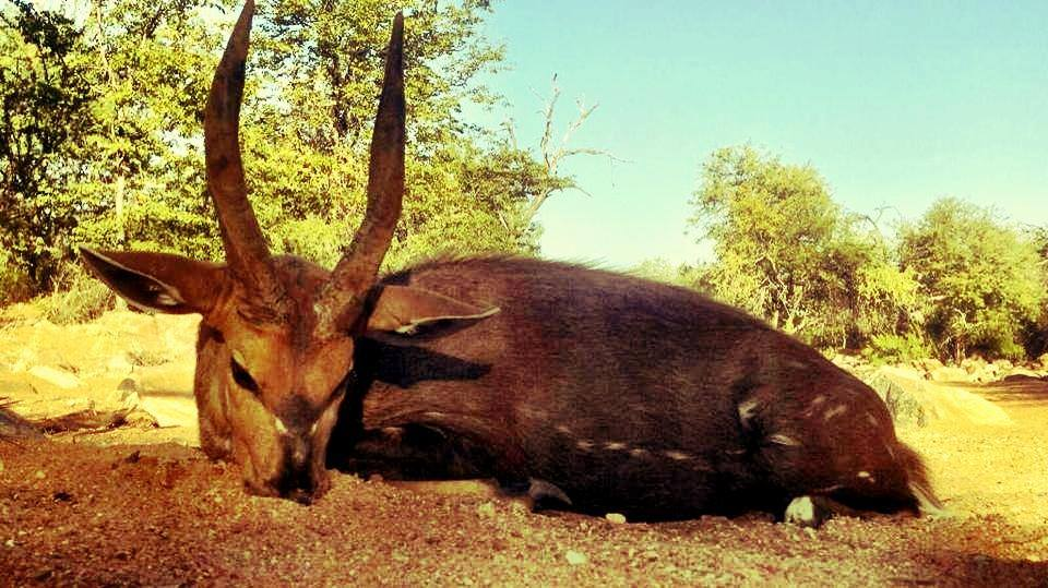 trophy bushbuck hunting in south africa 5
