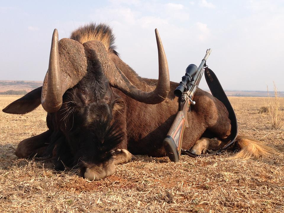 trophy black wildebeest hunting in south africa new