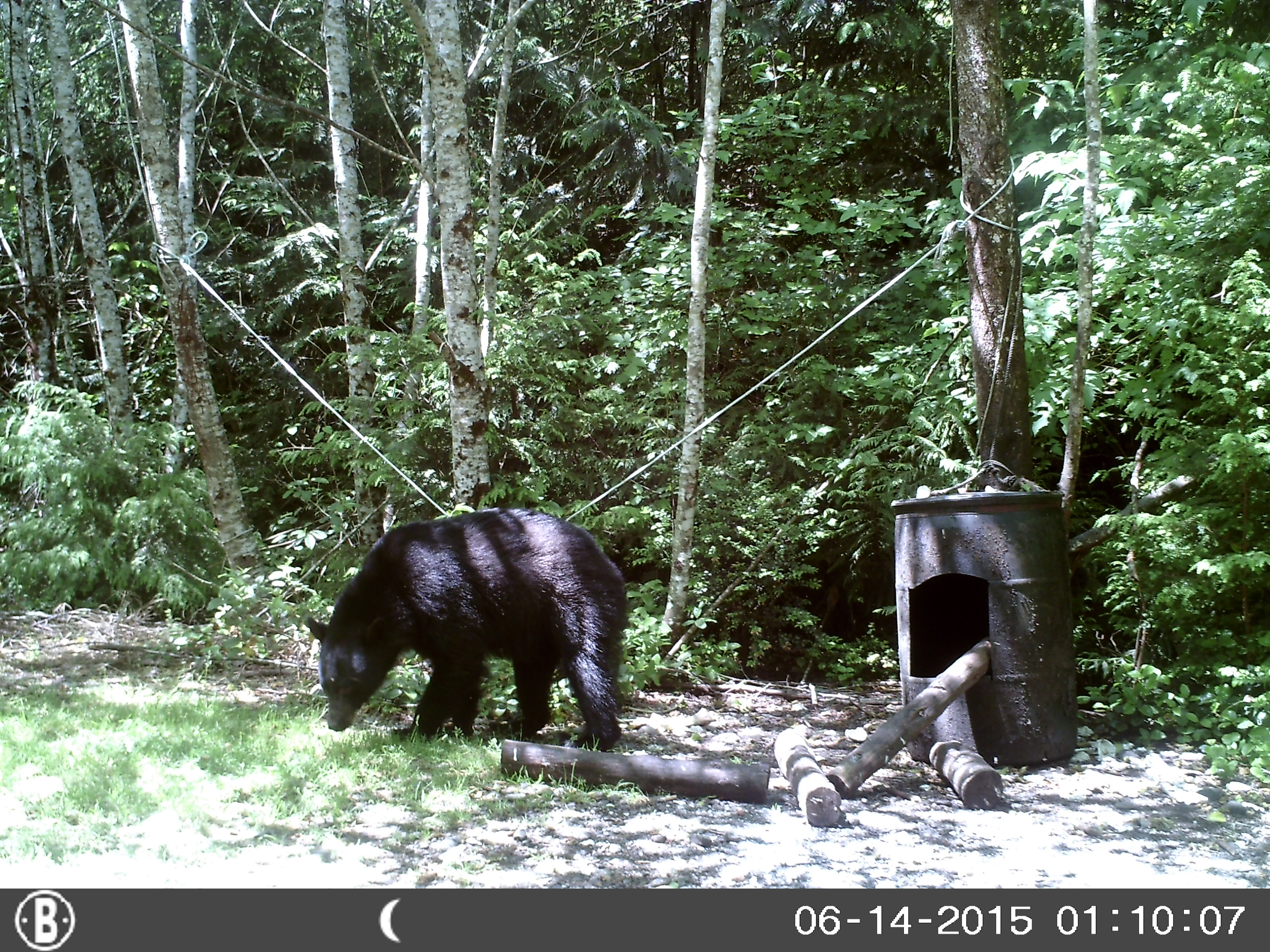 trophy black bear hunting in washington trail camera 2