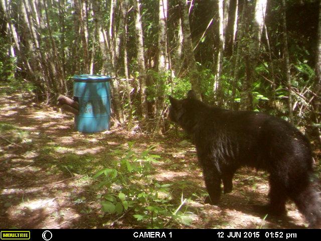 trophy black bear hunting in washington trail camera 1