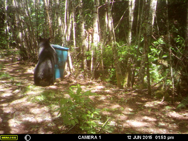 trophy black bear huntin in washington trail camera 4