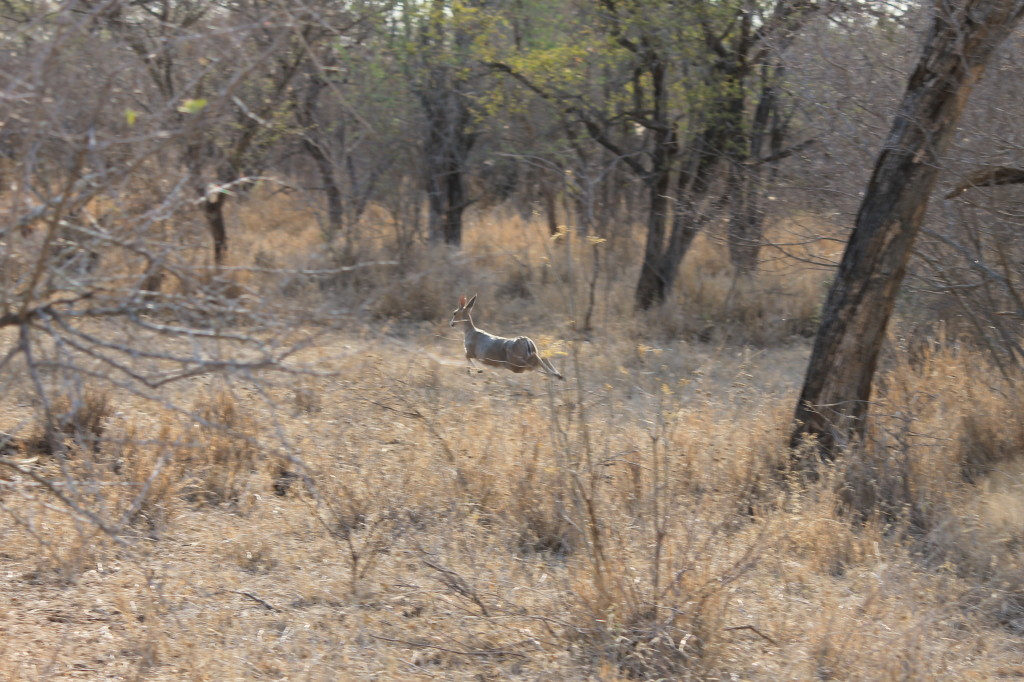 trophy duiker hunting in south africa running
