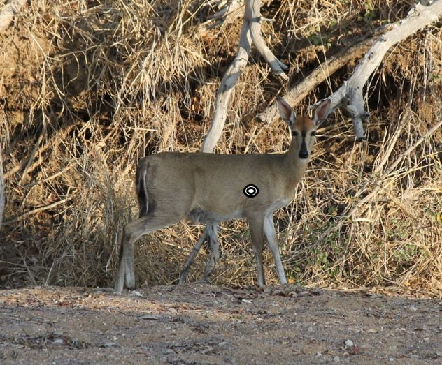 trophy duiker hunting shot placement south africa