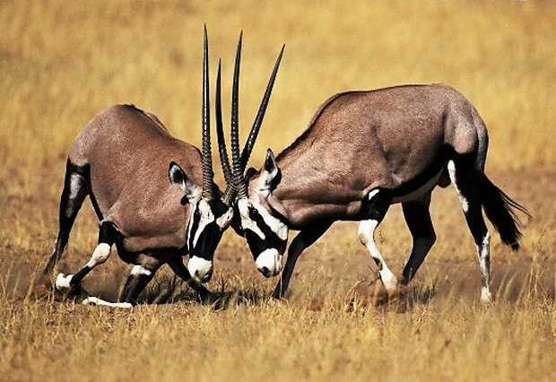 trophy gemsbok hunting in south africa male