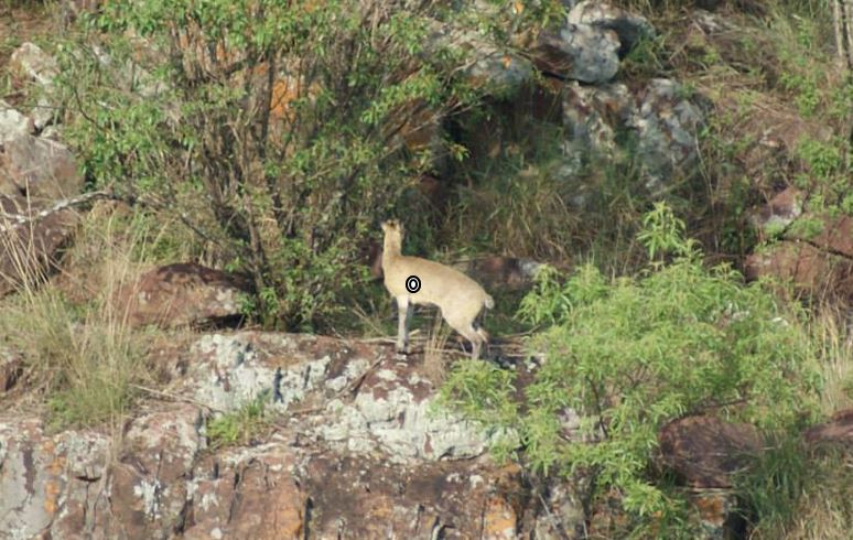 trophy klipspringer hunting shot placement
